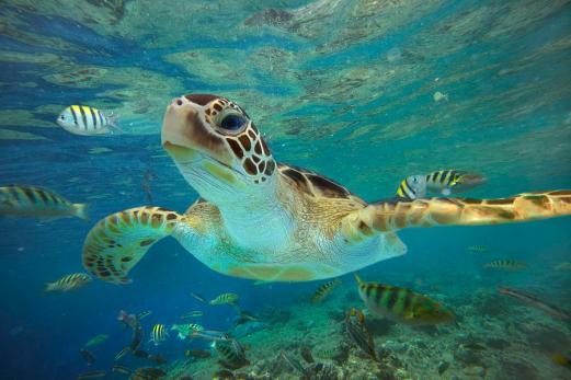 green-sea-turtle-chelonia-mydas-tim-fitzharris