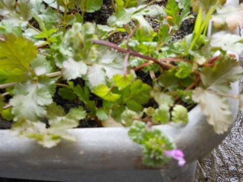 コリアンダー 紫色の花