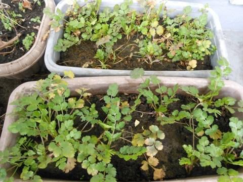 冬を乗り越えた、コリアンダーの鉢2つ。冬至頃に、たくさん葉を切り取り食しました。
