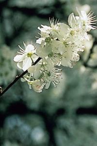 """Cherry Plum(チェリープラム)"""