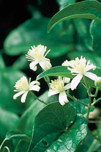 """Clematis(クレマティス)"""