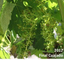 Valdemonjas Viñedos y Vinos 2012_Final cuajado