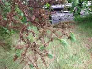 Browning of spruce needles.