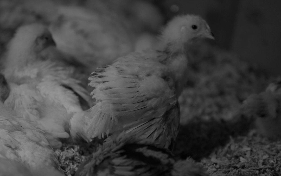 Chicks – Week 3