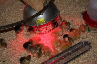 Chicks under the heat lamp