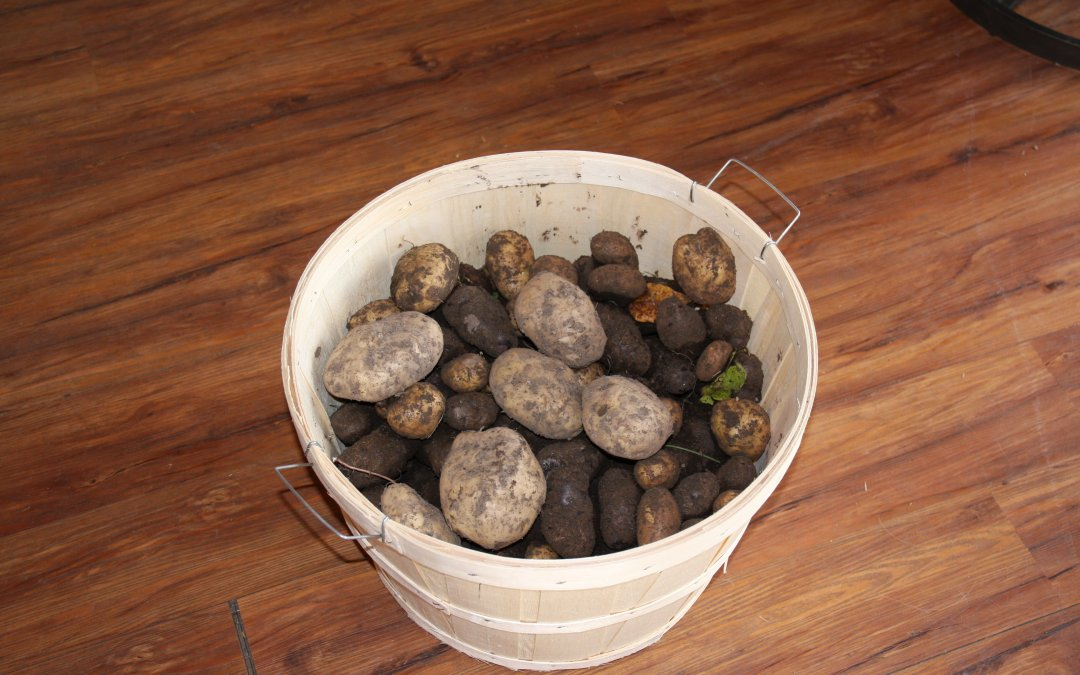 Potatoes – starting to harvest