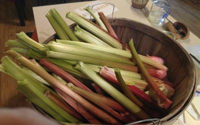 Rhubarb crop