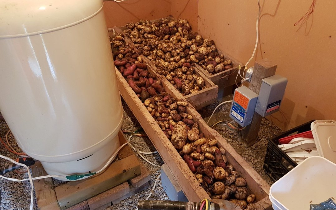 Potato harvest