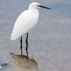 Little Egret and Reflection
