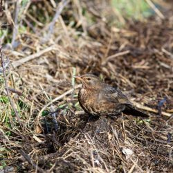 Blackbird at Stanpit