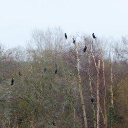 Cormorant in trees at Blashford Lakes