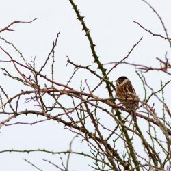 Male Corn Bunting in Winter Plumage