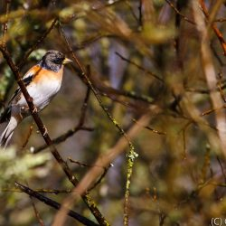 Brambling in Tree