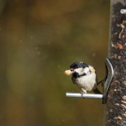 Coal Tit with Feeder Food