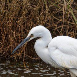 Little Egret up close