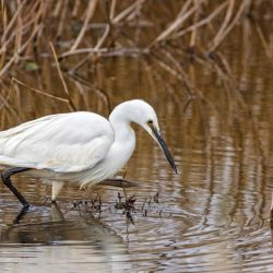 Little Egret Stalking