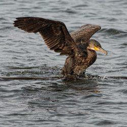 Cormorant exiting water