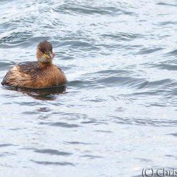 Little Grebe - (cropped)