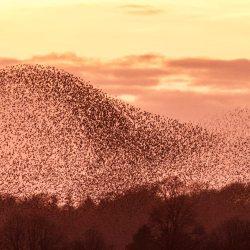 Starling Murmuration (4)