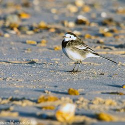 A Pied Wagtail at Hengistbury Head