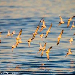 Ringed Plovers & Dunlin in flight