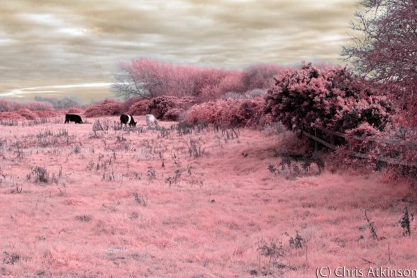 Cattle grazing on Hengistbury Head Nature Reserve (Toned Infrared Image)