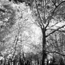 New Forest (Bolderwood) Infrared (4)