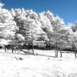 New Forest (Bolderwood) Infrared (2)