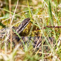 Snake in the Grass (Adder)