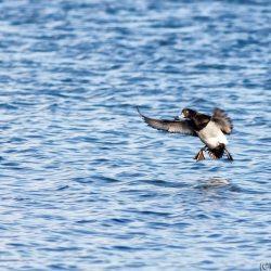 Tufted Duck Landing