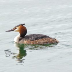 Great-crested Grebe (Panorama format crop)