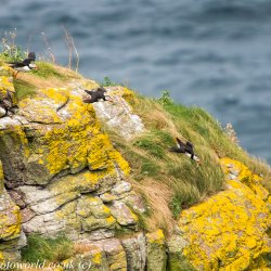 Puffins in flight