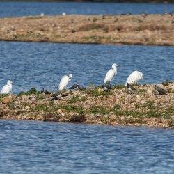 Great White Egret & Little Egrets