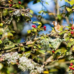 Goldfinch in berry tree