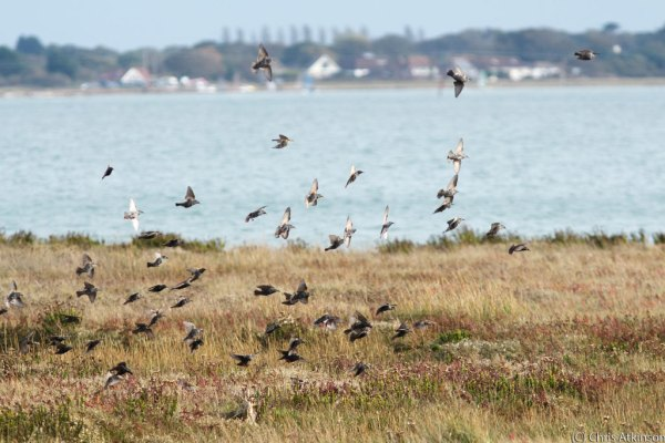 Starlings in flight over Farlington Marshes