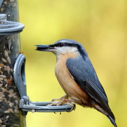Nuthatch on Feeder with seed