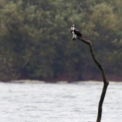 Juvenille Osprey at Blashford Lakes (2)