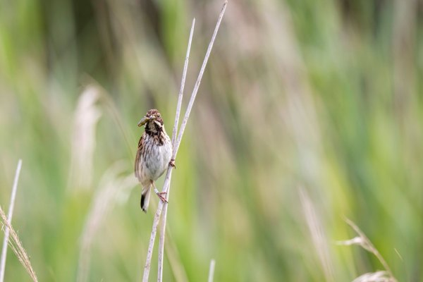 Male Reed Bunting with Grasshopper (2)