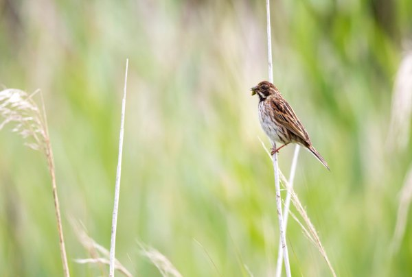 Male Reed Bunting with Grasshopper (3)