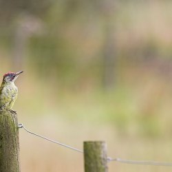 Green Woodpecker on Post