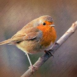 Bronzed Robin