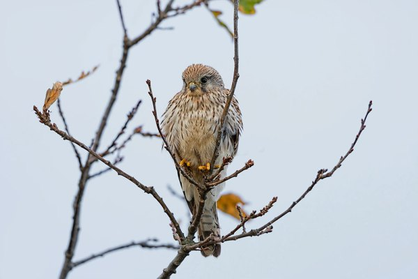 Kestral at Tuckton