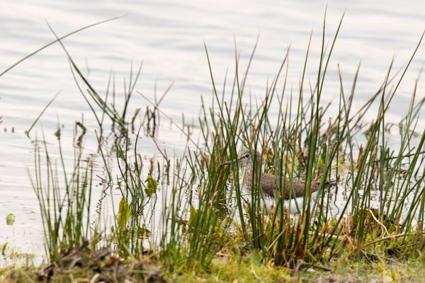 Common Sandpiper Camoflauged