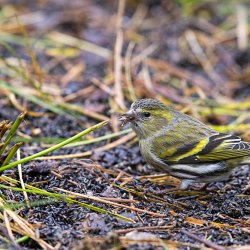 Siskin eating Niger Seeds on the Ground