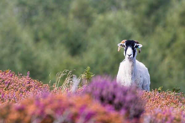 Ram looking over heather at Fylingdales