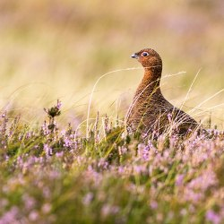 Red Grouse in heather on Blakey Moor