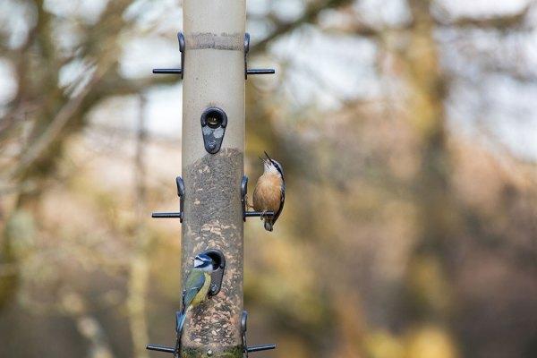 Nuthatch and Bluetit on Bird Feeder