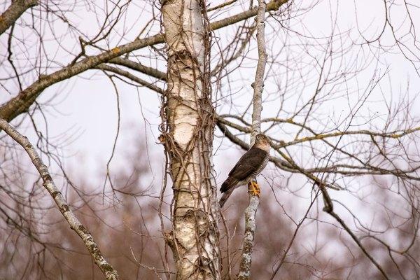 SparrowHawk in Tree