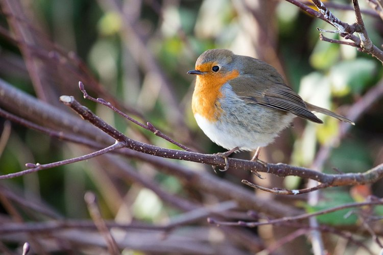 Robin feeling the cold
