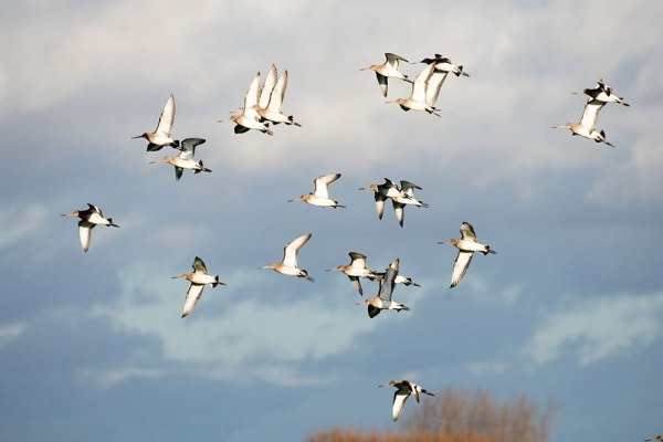 Godwits in flight (1)